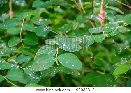 Drops of water on the leaves of the tree after the rain. University Botanical Garden named after Academician Fomin.