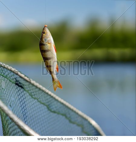 Close-up of Bright perch on fish-hook on lip with maggot, hot summer day, natural background, square picture. Concept luck, success, active rest, hobbies, countryside relaks