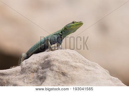 Male Platysaurus lizard on a brown rock in Mapungubwe South Africa.