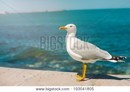 Sea gull standing on his feet on the beach at sunset. Close up view of white birds seagulls walking by the beach against natural blue water background. Concept tourism, leisure at sea, summer time