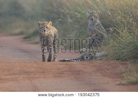 Three Cheetah cubs playing early morning in a dirt road