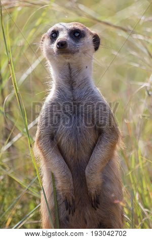 Close-up of a meerkat looking for danger in long grass