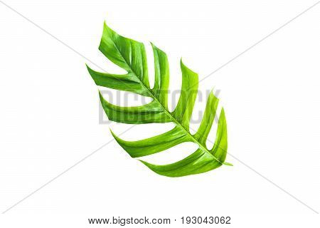 Green sugarcane leave isolated over white background with clipping path.