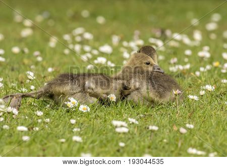 Greylag Gosling's on the grass close up