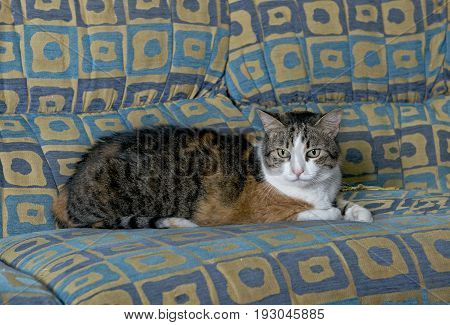 Cat portrait close up, cat on a sofa looking seriously straight to the camera, cat in blur background, serious cat