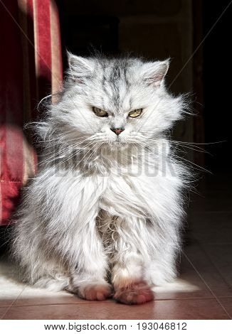 Cat on a sun in dark background. Longhair Cat Isolated in dark Background. Cat portrait close up, domestic animal. Serious cat looking to the camera