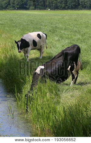 Thirsty dairy cows drinking water out of a ditch
