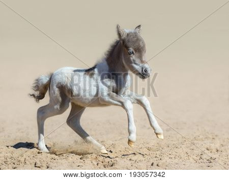 American miniature horse. Pinto newly born foal in motion. Side view.