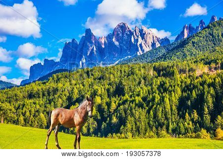 A sleek, slender horse in Val de Funes, Dolomites. The concept of ecological tourism. The valley in Tirol is surrounded by a dentate wall of dolomite rocks