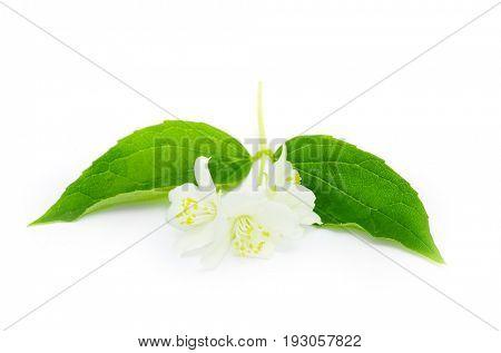 beautiful flowers of jasmine on white