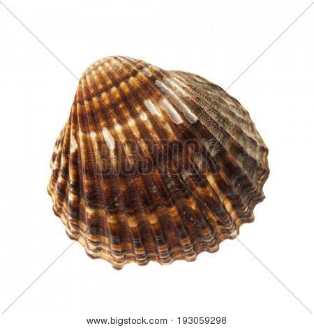 One brown cockle seashell isolated on white background, closeup.