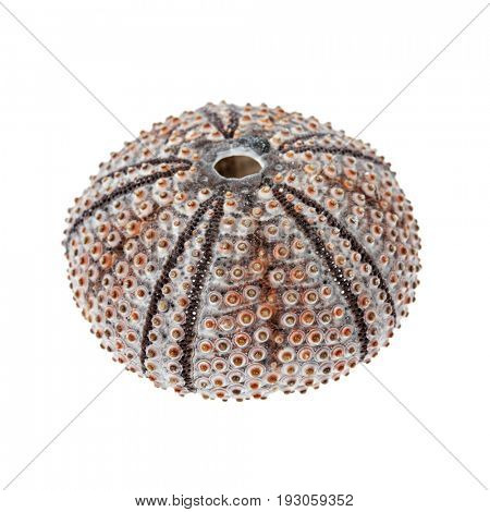 One sea urchin skeleton or shell close up isolated on white background