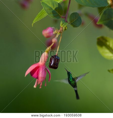 Hummingbird, green small bird from Cuba flying next to red flower with soft background