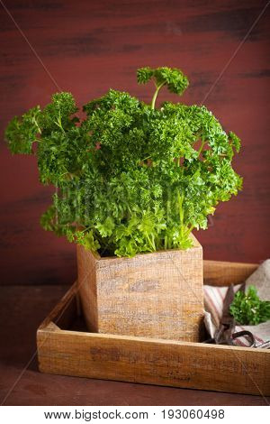 fresh parsley herb in wooden pot