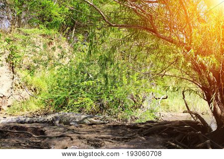 Crocodile resting on a sandy coast, Canyon del Sumidero, Chiapas, Mexico, North America