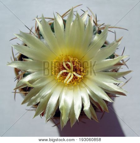 Cactus flower with nacred luster.