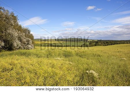 Oilseed Rape Field And Willows