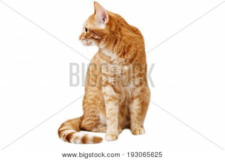 Ginger cat sits and looks away turning his head in the sideway isolated on white