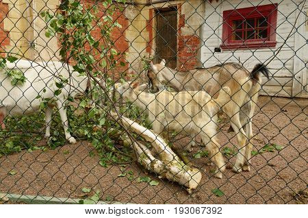 Domestic goats in the farm to eat leaves .In the corral put birch branches.