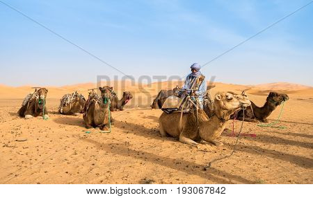 Marrakech Morocco - May 09 2017: A camel owner is getting his camels ready for a ride with tourists in the Sahara desert Merzouga Morocco.