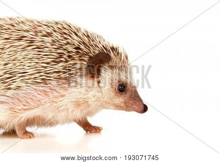 Nice pet. Brown hedgehog isolated on white background.