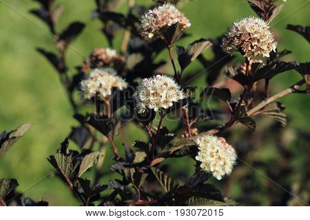 Ninebark or Physocarpus opulifolius shrub bloosom in garden. Dwarf shrub with deep red foliage for landscape gardening .