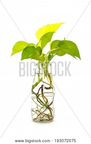 golden pothos with root in reuse glass bottle on white background