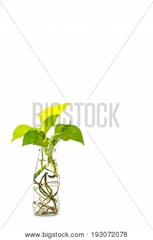 golden pothos with root in reuse glass bottle on white background, copy space