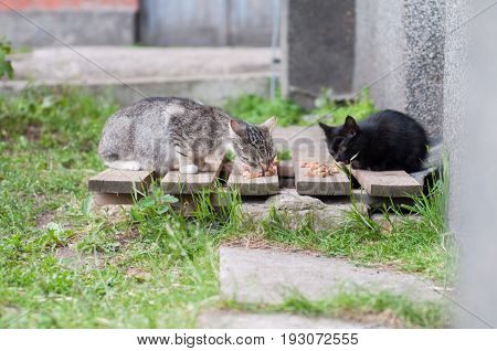 Homeless unhappy hungry cats eat cat food