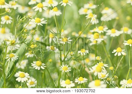 Beautiful summer sunny landscape, field of daisies flowers. Small white petal plants in the garden. Soft focus, shallow depth field photo.