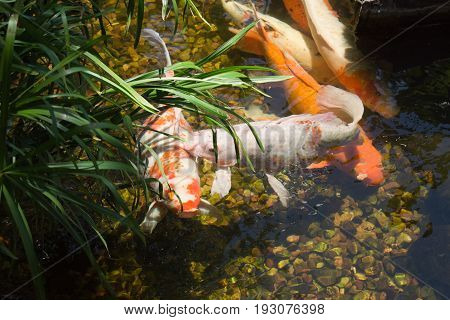Fish sharing space in a small pond. I'll scratch your back if you scratch mine