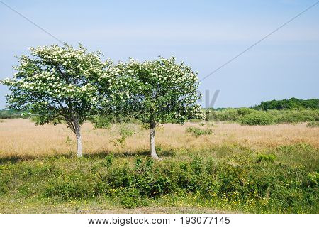 Blossom whitebeam trees in a grassland at the swedish island Oland