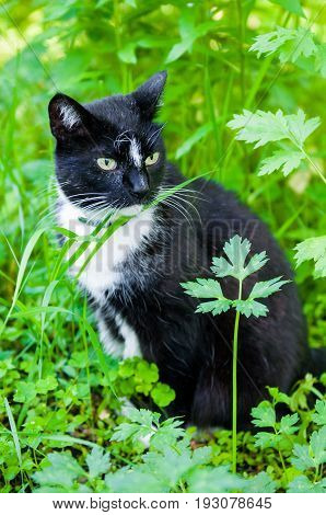 black cat with Flea collar is eating green grass outside on nature