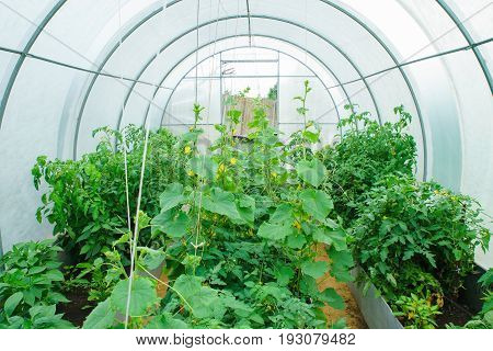 Greenhouse in the early summer with crocheted and tied cucumbers and tomatoes 3 beds