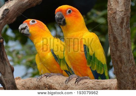 A pair of  perched sun conures look very pretty in the gardens.