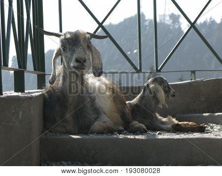 Himalayan Goat sitting Elegantly to make it Click
