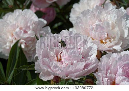 Cetonia aurata (rose chafer) on pink Peony flower.