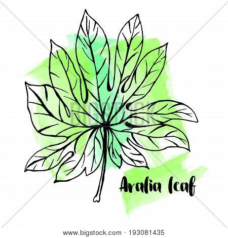 Hand Drawn Aralia Leaf On Watercolor Background In A Sketch Style. Tropical Collection.