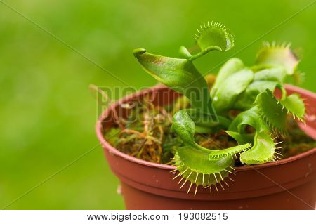 Exotic insect-eating predator flower Venus flytrap dionaea planted over a clay plantpot, in a blurred background.
