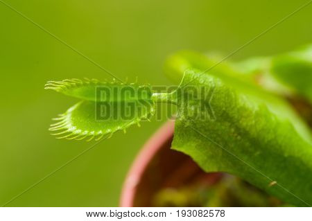 Exotic insect-eating predator flower Venus flytrap dionaea in a green background.