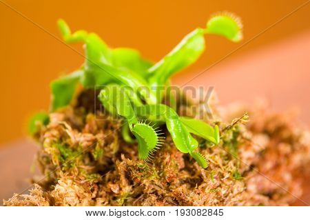 Close up of an exotic carnivorous flower Venus flytrap dionaea planted over a substratum of wood, moss a ground with nutrients.
