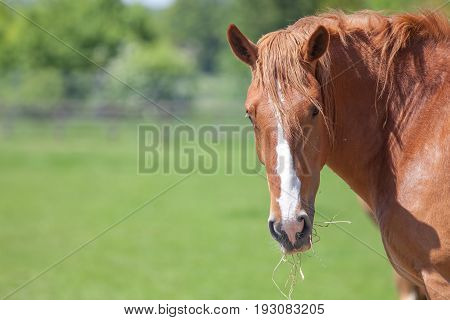 Beautiful chestnut suffolk punch (Equus caballus) horse in field. Rural countryside image with copy space.