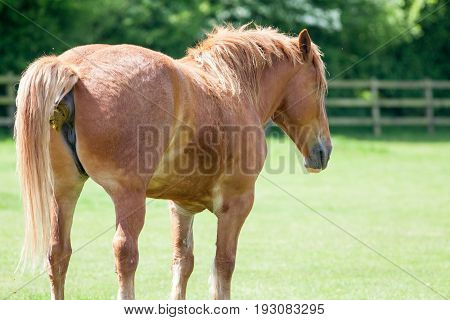 Horse shit. Chestnut horse taking a crap. Funny animal meme image of an animal shitting in a field. With copy space for political comment. poster