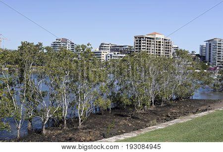 Mangroves along the banks of the Brisbane River at low tide in Brisbane Queensland Australia