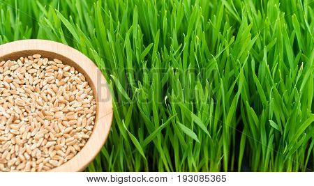 A scoop of wheat berries left are needed to grow wheatgrass right