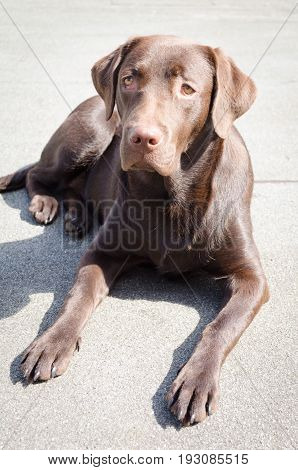 Young Brown Labrador In The Sun