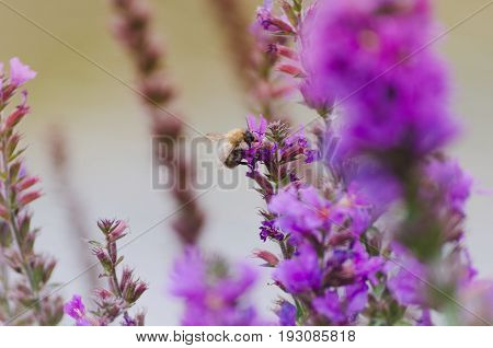 Bumble Bee Sitting On Purple Flower, Lavender