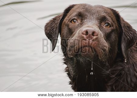 Wet Large Dog Portrait, Dripping Water