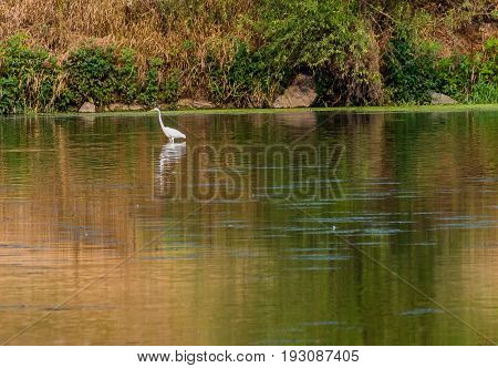 Egret Standing In Shallow River
