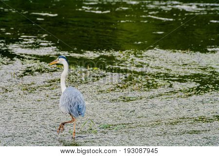 Great Blue Heron Hunting For Food